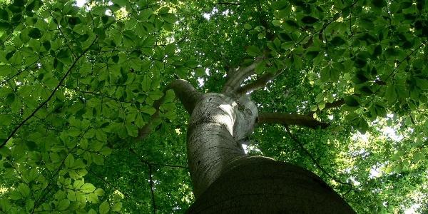 óriás bükkfa a Vétyemi Ősbükkös területén