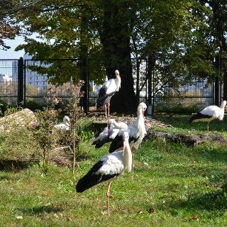 Gólyák a Margitszigeti Kisállatkertben (Vadaskertben)