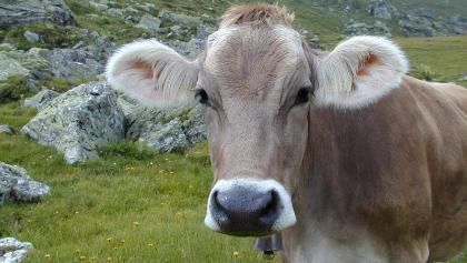 Waar s'winters wordt geskied, graast in de zomer melkvee.