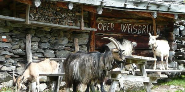Tierische Begegnung auf der urigen Oberen Weißbrunnalm