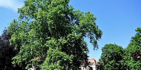 Évszázados hársfa a nagycenki Széchenyi-kastély előtt