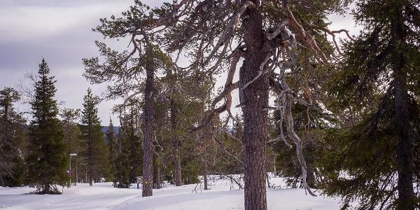 Ladulla alamäkeen Kapustasta kohti Huttujärveä, Huttutunturin kesäreitin risteyksessä.