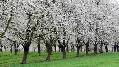 Kirschbluetentraum