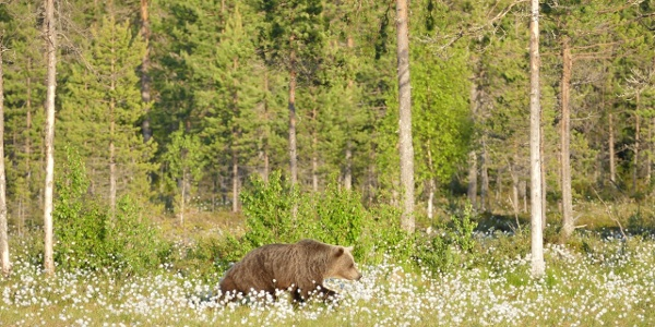 Boreal Wildlife Centre, karhuretki, Kuhmo