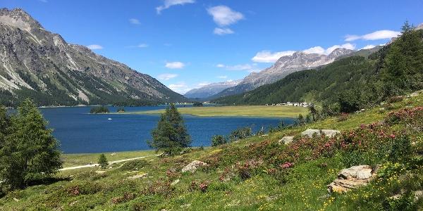 Alpenrosenblüte am Lej da Segl