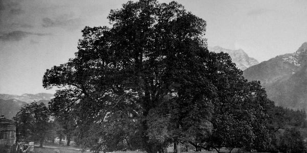 <![CDATA[Die Hindenburglinde im Jahre 1900 | Fotografie von Friedrich Stützer]]>