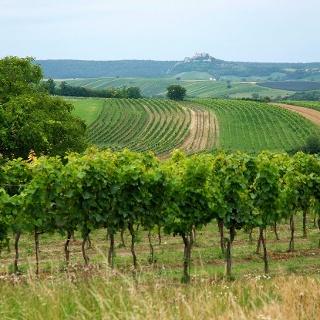 Wandern durch Weingärten