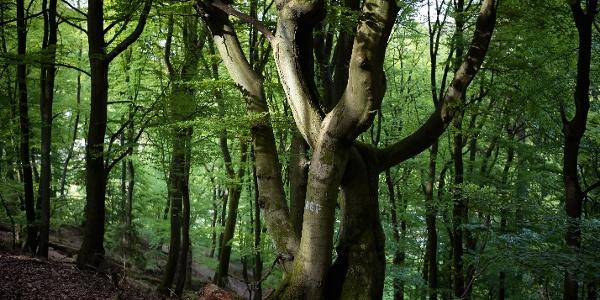 Interessante Baumgruppe am Rundwanderweg