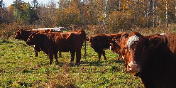Glückliche Rinder auf dem Feld