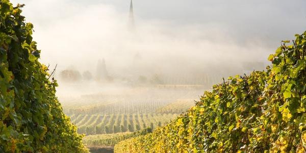 Mosel Weinberge im Herbstnebel