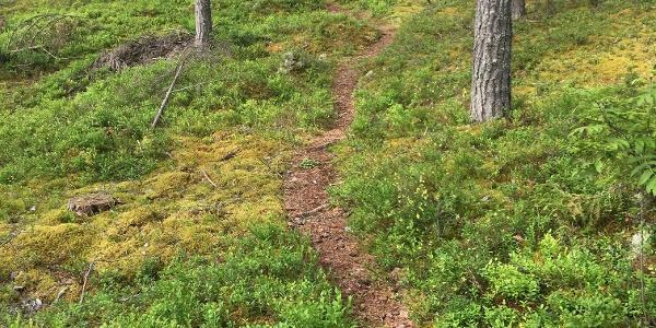 Vilkaharju nature trail Pine wood