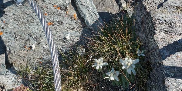 Edelweiss entlang der Klettersteigroute