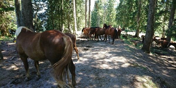 Pferde genießen den Alpsommer