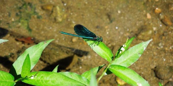 """Libelle im Naturschutzgebiet """"Mühldorfer Au"""""""
