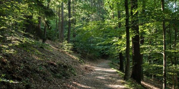 Noch ein kurzes Stück durch lichten Buchenwald und …