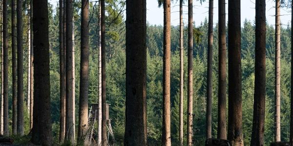 Blick durch den Nadelwald