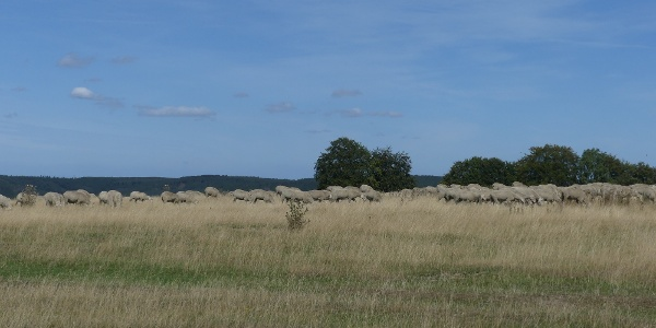 Schafweide auf der Dreiborner Hochfläche