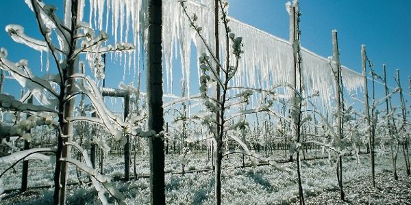 Weinberge in Eis