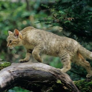 Wildkatzenpfad