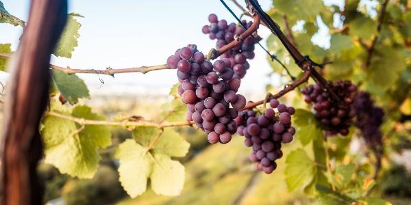 Reifer Wein in Pillnitz