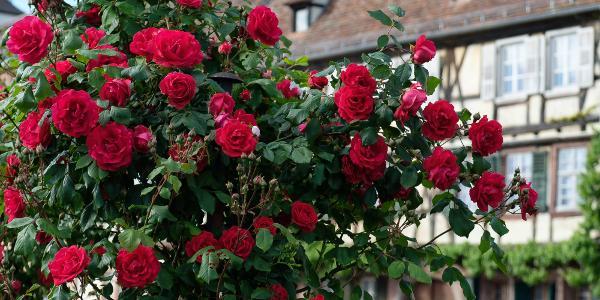 Rosen und Fachwerk