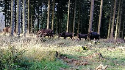 Wisent-Herde am Rothaarsteig