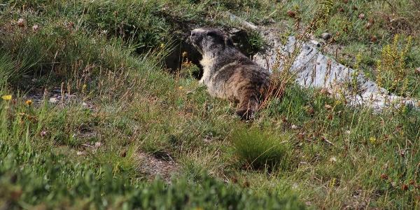Marmotte sur la randonée du Riffelalp