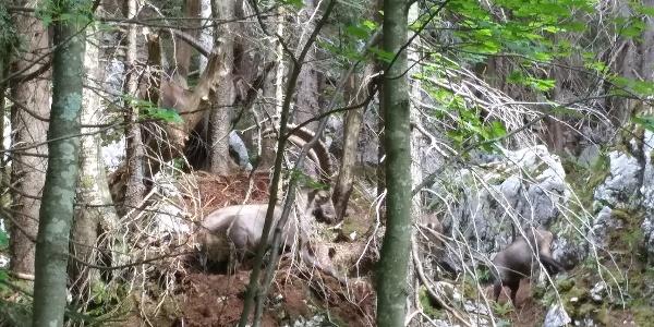Steinböcke im Wald oberhalb der Hinteren Längentalalm
