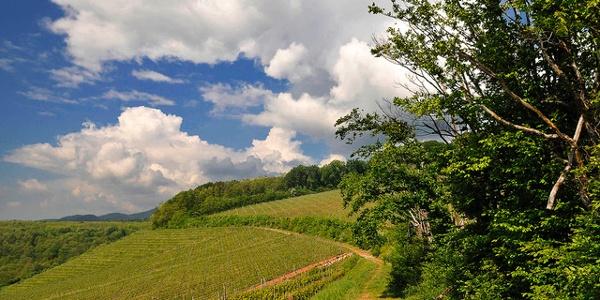 Vignoble Cote 425 Steinbach