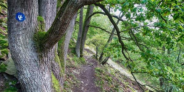 Schmaler Pfad mit Eiche am Urwaldsteig Edersee