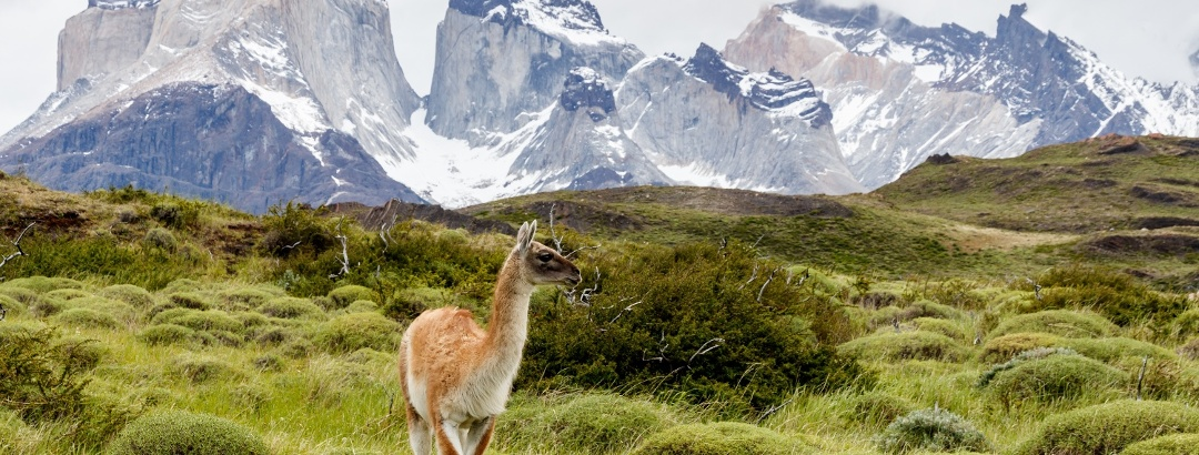 A guanaco in the Torres del Paine National Park