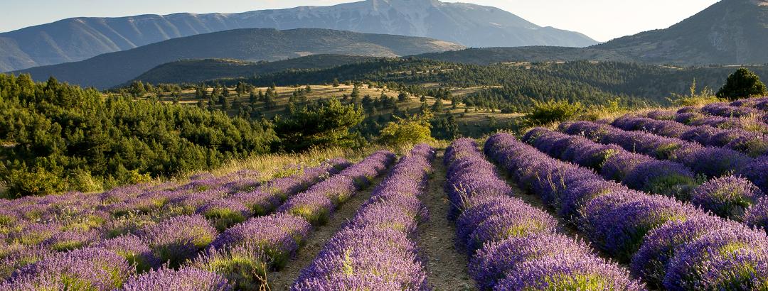Lavendelfeld in der Region Baronnies Provençales