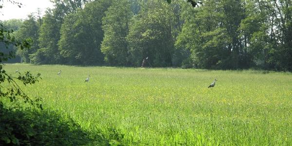 Der Storch fühlt sich wohl in der Südpfalz