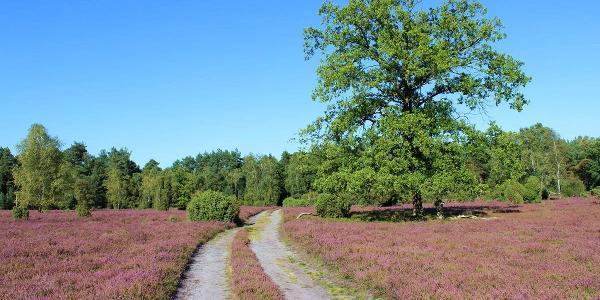 Naturerlebnispfad Südheide durch die blühende Oberoher Heide