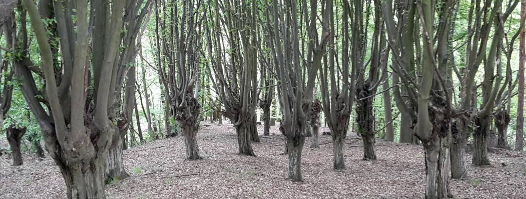 Kopfhainbuchenwald