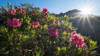 Alpenrosenblüte am Riedberger Horn in Balderschwang im Allgäu