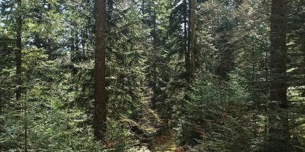 Schmale Waldpfade führen von Schömberg Richtung Calmbach