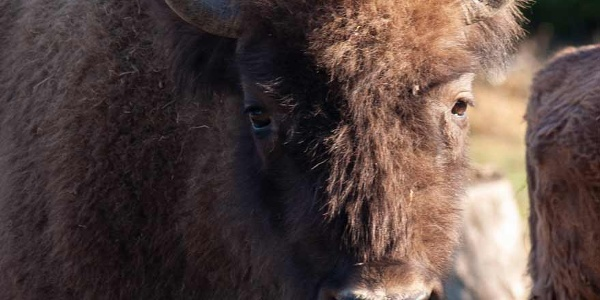 Wisent Quirly