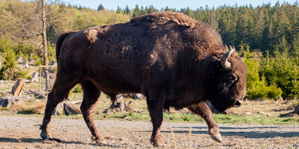 Wisent Horno