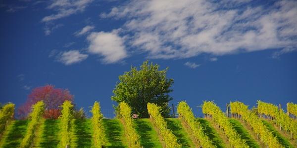 Einer der vielen Weingärten am Wein-Erlebnis-Weg