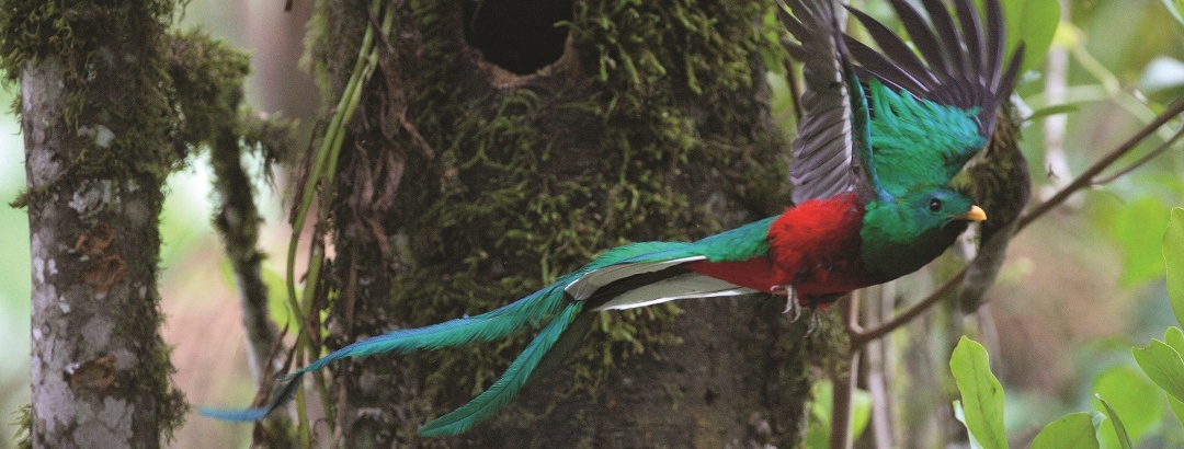 Quetzal bei San Gerardo de Dota