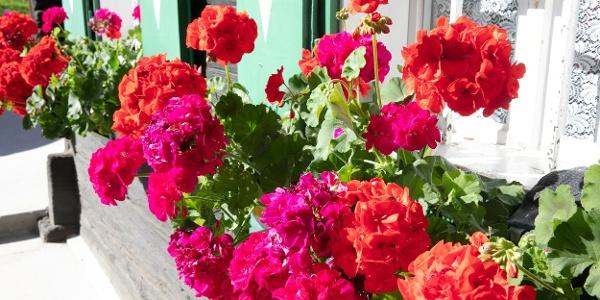 Blumenkisterl am Fenster eines Weststeirischen Hauses