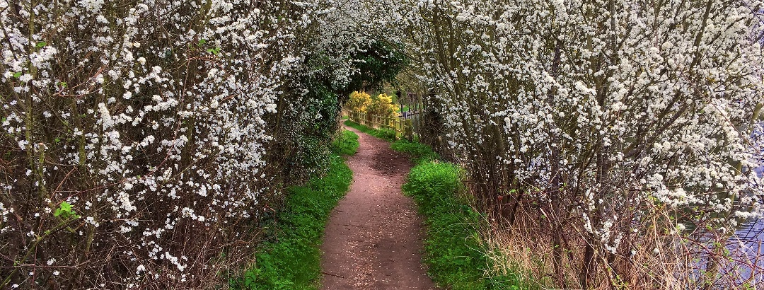 A tunnel of blossom over the Thames Path by Bray Lock.