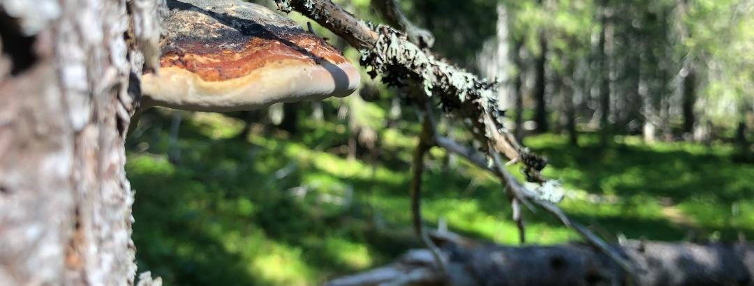Kääpä Paljakan luonnonpuisto, Paljakka-Puolanka