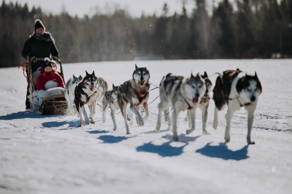 Husky safari through the forests of Finland
