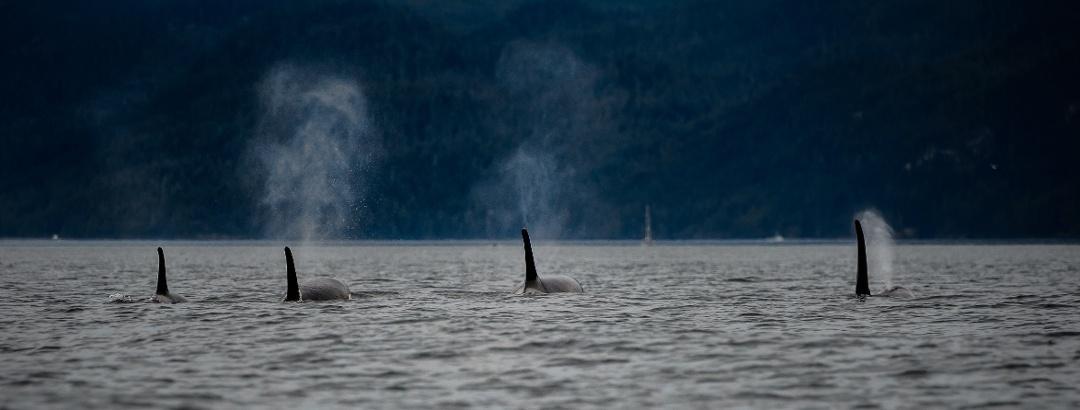 Orkas vor der Küste von British Columbia