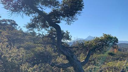 Pini bonsai