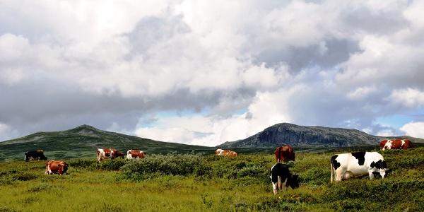 Stølsliv for fornøgde kyr nedafor Svaraberg