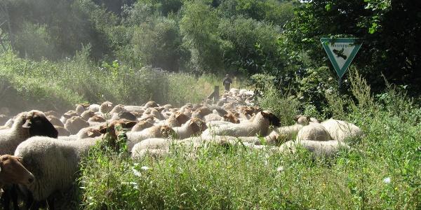 Schafe im Markengrund