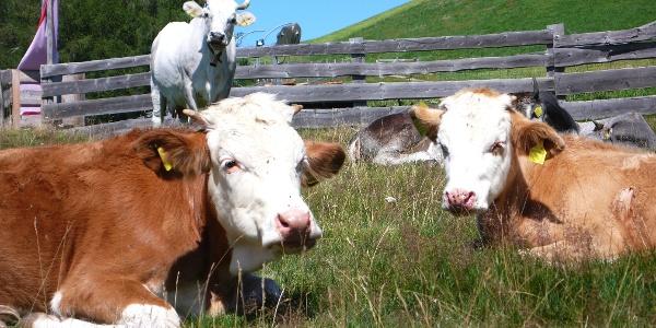 Auch die Kühe genießen es auf der Sunnalm im Sarntal.
